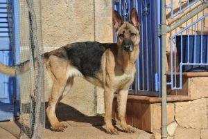 gnadenhund_simba1