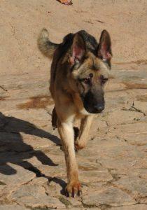 gnadenhund_simba_3