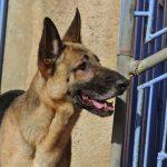 gnadenhund_simba_4
