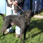 Lazar, männlich, 3-4 Jahre, Labradormix