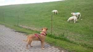 Dusty und Schafe