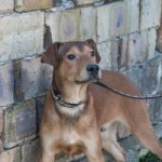Antonio, 08.2014, Dobermann-Mix