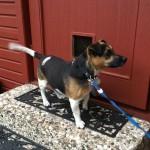 Purzel, 12.02.2009, 35 cm, Jack Russell Terrier