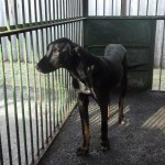 Thyson, ca. 2013, Dobermann-Mix
