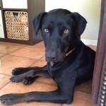 Fuzja, 02/2012, 50cm-20kg, Labrador-Mix