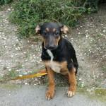 Ingrid, ca. 07.07.2015, Endmass ca. 50 cm, Schäferhund-Mischling