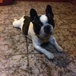 Rocky, ca. 2009,ca. 35 cm, Französische Bulldogge