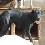 Savia, ca. 06/2013, ca. 60 cm, Labrador(?)-Mischling