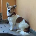 Foxie, ca. 08/2014, ca. 37 cm, Mischling