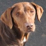 Rens, ca. 2009, ca. 45 cm, Labrador-Mischling
