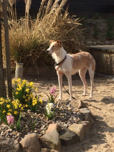 Gnadenhund Laila_5