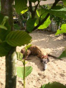 Gnadenhund Maya_14