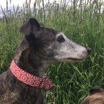 Gnadenhund Turcolino_Maya_2